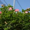 2015/05/08 春風 着実に開花を増やす!朝の光に当たって素敵!!