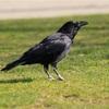 鳥頭でないカラスの「未来計画」能力、研究