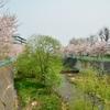 亀田川沿いの桜…