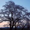 ヘアリーベッチの春まきをして集落の桜を見てきたこと
