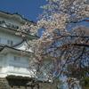 小田原城桜の開花状況2018(2018/3/31)