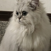 ☆☆ペルシャ猫さん探しています☆☆