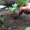 [家庭菜園2020]ラディッシュの収穫〜