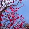 中山寺へ梅林を見にいってきました。気になる梅の開花情報