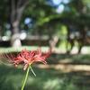 【雑記】他の方のブログに触発され彼岸花の写真を撮りに行った話し。