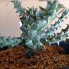 Euphorbia tuberculata 成長記(2019.5.17)
