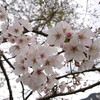 日曜日の桜
