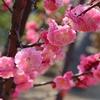 神戸)住吉川公園、梅見ごろ。