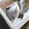 2017年4月28日 小浜漁港 お魚情報