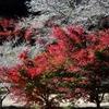 四季桜 2012 豊田市
