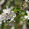 【花の福島2021】吾妻連峰,安達太良連峰を背景に,リンゴの花も咲きました