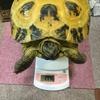 ホルスちゃん体重測定
