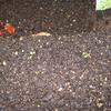 【家庭菜園】9分の4種類、発芽しました