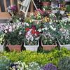 「まつこの庭」はチューリップが真っ盛り !!