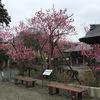 歴史ある紅梅の咲く長久寺へお墓参りに・・・