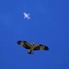ミサゴと飛行機