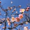 外耳炎と税金と梅の花