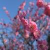 梅と菜の花の写真を撮ったのでお披露目します@舞鶴公園