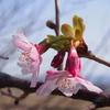フライングして咲いてる桜