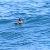 天売島の海鳥たち