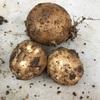 秋じゃがいもの土寄せと芽かき!収量アップの為の重要作業!