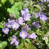 薄紫色のベロニカ・ウォーターペリーブルー(3年目)が今年も満開!