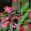 京都・古知谷 - 阿弥陀寺の秋海棠と晩夏の山野草