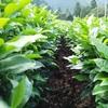 目線を変えて畝間からお茶の樹を見てみる…