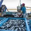 2019年9月3日 小浜漁港 お魚情報
