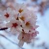 カメラ初心者が桜を撮ってきた