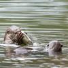 Urban Wild Otters -1