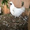美しいかな烏骨鶏