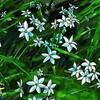 ハナニラの花はベツレヘムの星