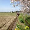 畦塗りと菜の花が満開と湛水直播