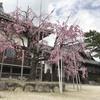 2017願正寺の枝垂桜
