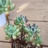 乙女心が葉焼けに!これから季節、強い日差しに注意が必要です。ラウイの植え替えがやっとできました。