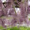 公園の藤の花