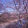 三連休の河津桜。