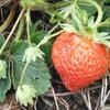 イチゴ、スナップエンドウ、玉ねぎの収穫