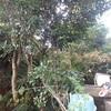庭木の伐採?猫瞬間移動?虎斑の富貴蘭 など色々と長々と・・・・・・!