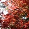 「ホザキヤドリギ」が、「イロハモミジ」の枝に…。