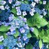 日本一のあじさい園。岩手県一関市にあるみちのくあじさい園