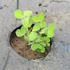 絹莢エンドウの植え付け