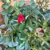 カーネーションとバラの区別
