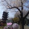 #上野動物園#シャンシャンと桜