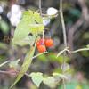 冬の赤い実、ヒヨドリジョウゴ,鵯上戸,Solanum lyratum