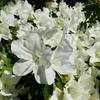 季節の花からの挑戦状 ~「躑躅」編~