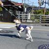 横断歩道を渡るときに「ヨッシャー!」と気合いの入る犬。