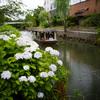 宇治川派流で紫陽花を撮ってきた@2019