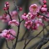 荒山公園の梅が咲き始めています